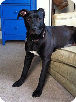 Labrador Retriever/American Pit Bull Terrier Mix Dog for adoption in Columbus, Ohio - Tania