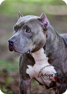 American Pit Bull Terrier Mix Dog for adoption in Orlando, Florida - Nala