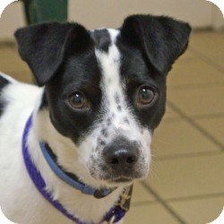 Jack Russell Terrier/Border Collie Mix Puppy for adoption in Eatontown, New Jersey - Ladybug