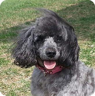 Poodle (Miniature) Mix Dog for adoption in Washington, D.C. - Gertrude