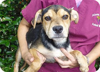 Beagle Mix Dog for adoption in Oviedo, Florida - Paker