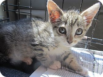 Domestic Shorthair Kitten for adoption in Lincolnton, North Carolina - Minnie Mouse