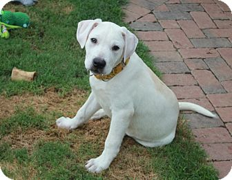 Labrador Retriever/Terrier (Unknown Type, Medium) Mix Puppy for adoption in Knoxville, Tennessee - Sully