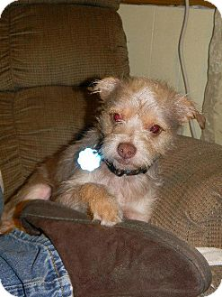 Schnauzer (Miniature)/Yorkie, Yorkshire Terrier Mix Dog for adoption in Baton Rouge, Louisiana - Topper