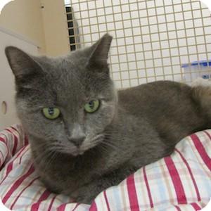 Domestic Shorthair Cat for adoption in Gilbert, Arizona - Kiki