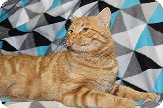 Domestic Shorthair Cat for adoption in HARRISONVILLE, Missouri - Rossco