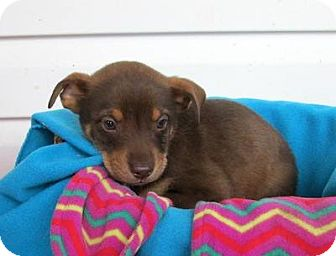 Black and Tan Coonhound/Shepherd (Unknown Type) Mix Puppy for adoption in Kimberton, Pennsylvania - Ellison