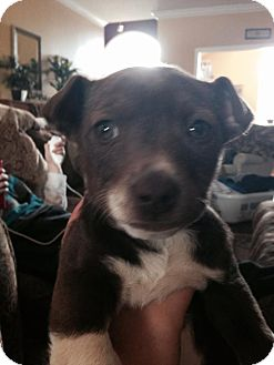 Chihuahua/American Pit Bull Terrier Mix Puppy for adoption in Greeneville, Tennessee - Delilah