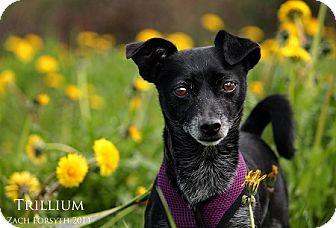 Chihuahua Mix Dog for adoption in Portland, Oregon - Chula