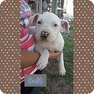 Pit Bull Terrier/Terrier (Unknown Type, Medium) Mix Puppy for adoption in Fowler, California - Bolt