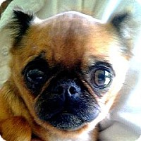 Adopt A Pet :: GINGER - ADOPTION PENDING - Los Angeles, CA