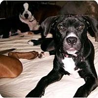 Adopt A Pet :: Baby Blue - Orlando, FL