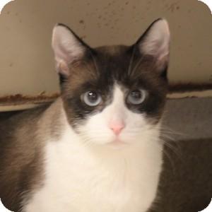 Siamese Cat for adoption in Naperville, Illinois - Destiny