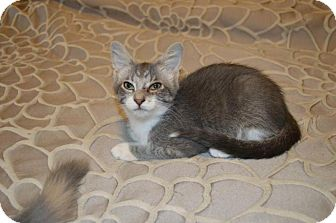Domestic Shorthair Cat for adoption in Sterling Heights, Michigan - Lucy-ADOPTED