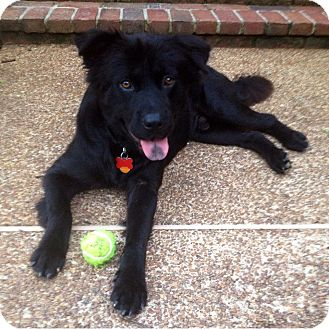 Chow Chow Mix Dog for adoption in Germantown, Tennessee - Bear