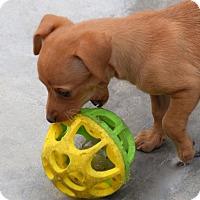 Adopt A Pet :: Kristie - La Habra Heights, CA