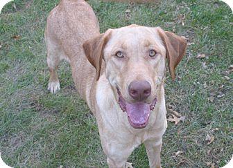 Labrador Retriever/Weimaraner Mix Dog for adoption in Overland Park, Kansas - Carli