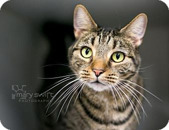 Domestic Shorthair Cat for adoption in Reisterstown, Maryland - Bogart