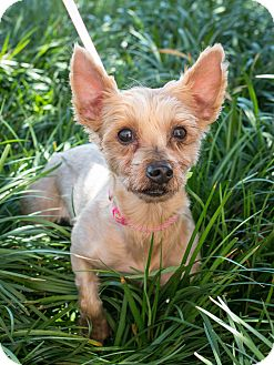 Silky Terrier/Yorkie, Yorkshire Terrier Mix Dog for adoption in DFW, Texas - Zoey