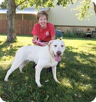 Labrador Retriever Mix Dog for adoption in Elyria, Ohio - Venus