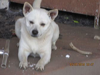 Cairn Terrier Mix Dog for adoption in Anton, Texas - Buddy