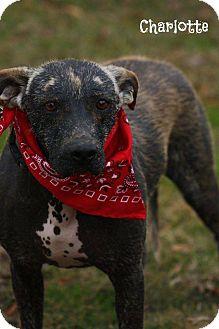 Labrador Retriever Mix Dog for adoption in Glastonbury, Connecticut - Charlotte