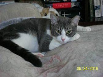 Domestic Shorthair Cat for adoption in San Jose, California - Eve