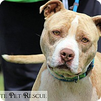 American Pit Bull Terrier Mix Dog for adoption in Blue Ridge, Georgia - Fletcher