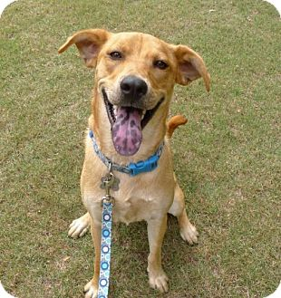 Labrador Retriever Mix Dog for adoption in Helena, Alabama - Carl