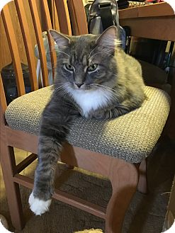 Maine Coon Cat for adoption in Stockton, Missouri - Sox