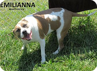 American Pit Bull Terrier Mix Dog for adoption in Elizabeth City, North Carolina - Emilianna  SOS