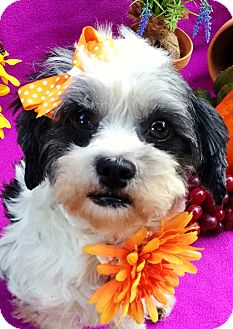 Shih Tzu/Maltese Mix Dog for adoption in Irvine, California - Figgy