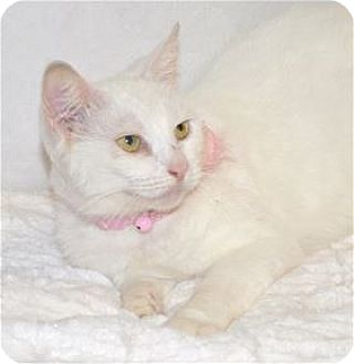 Domestic Shorthair Cat for adoption in Lincoln, California - Solstice