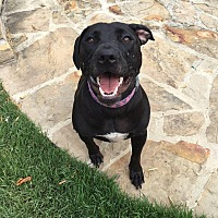 American Staffordshire Terrier/Labrador Retriever Mix Dog for adoption in Westerville, Ohio - Lola