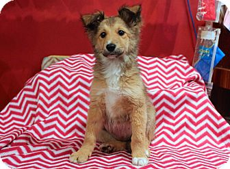 Sheltie, Shetland Sheepdog/Cattle Dog Mix Puppy for adoption in Los Angeles, California - Feta