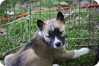 Husky/Labrador Retriever Mix Puppy for adoption in Sturbridge, Massachusetts - Oriole