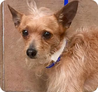 Yorkie, Yorkshire Terrier/Chihuahua Mix Puppy for adoption in Oswego, Illinois - I'M ADOPTED Chewy