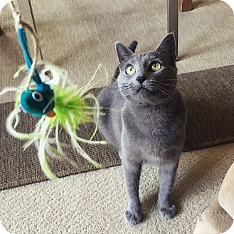 Russian Blue Cat for adoption in Mountain View, California - Peanut