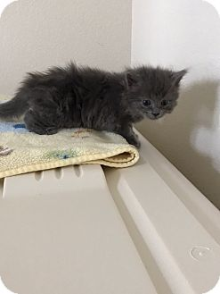 Russian Blue Kitten for adoption in Grand Junction, Colorado - Claude