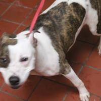 American Staffordshire Terrier Mix Dog for adoption in Daytona Beach, Florida - Raven