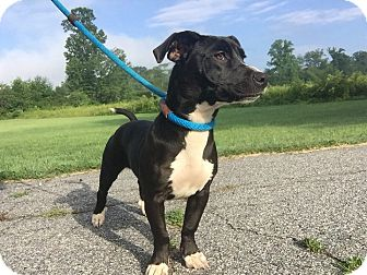 Dachshund/Labrador Retriever Mix Dog for adoption in Hendersonville, North Carolina - Zucchini