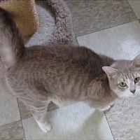 Domestic Shorthair Cat for adoption in Glenwood, Minnesota - Jewel