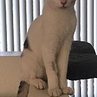 Domestic Shorthair Kitten for adoption in Sherman Oaks, California - Skebenga