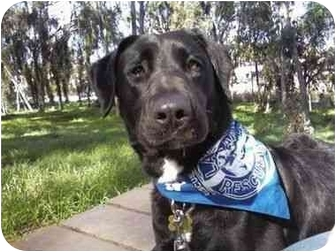 Labrador Retriever Mix Dog for adoption in San Diego, California - BRANDON