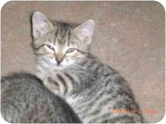 Domestic Shorthair Kitten for adoption in Atlanta, Georgia - Kittens
