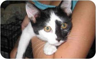 Domestic Shorthair Kitten for adoption in Randolph, New Jersey - Little Moo
