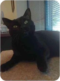 Domestic Shorthair Cat for adoption in San Ramon, California - Suzi Q