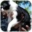 Photo 2 - Border Collie Mix Puppy for adoption in Leoti, Kansas - Nicky II