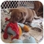 Photo 2 - Labrador Retriever Mix Puppy for adoption in Reisterstown, Maryland - Male Heinz 57 Puppies