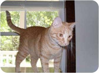 Domestic Shorthair Cat for adoption in Farmington, Arkansas - Tommy